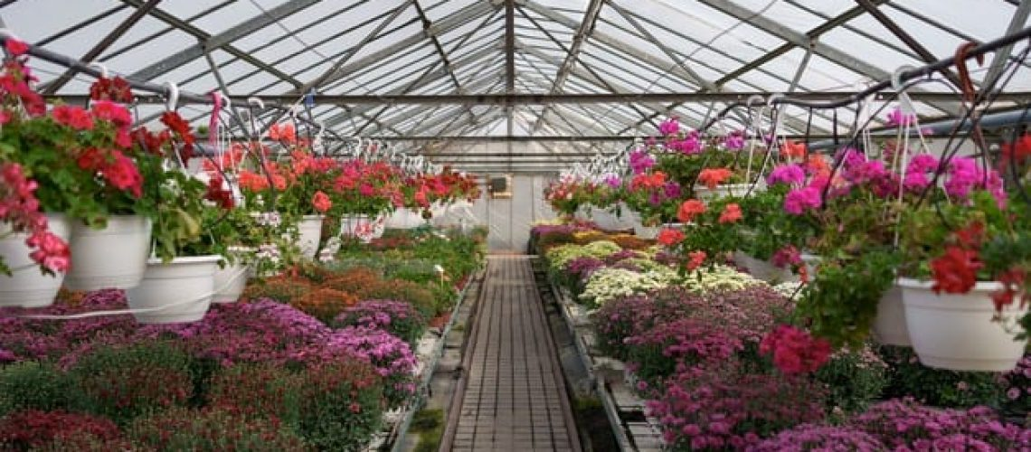 flowers-production-cultivation-many-chrysanthemum-flowers-greenhouse-chrysanthemum-plantation_158595-6963